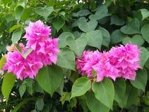 Fleur Thaïlande Image stock