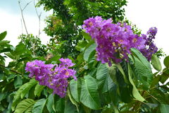 Fleur Thaïlande Photo stock