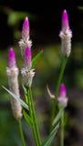 Fleur Thaïlande de crête avec le fond de nature Photos stock