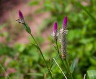 Fleur Thaïlande de crête avec le fond de nature Photographie stock