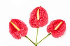 Fleur toujours rouge exotique d'anthure belle Photos libres de droits