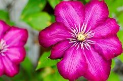 Fleur très belle d'une fleur rouge de rose Photos libres de droits