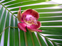 Fleur treize de boulet de canon Images libres de droits