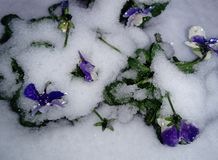 Fleur tricolore d'alto de Heartsease dans la neige photo stock
