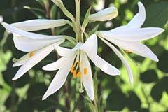 fleur trois blanche Photographie stock libre de droits