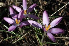 Fleur trois de floraison de crocus Photographie stock libre de droits