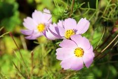Fleur trois rose sensible images stock