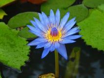 Fleur tropicale Photo stock
