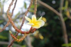 Fleur tropicale blanche Photos stock