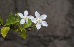 Fleur tropicale blanche sous la pluie Photo exotique de macro de fleur Image libre de droits