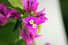 Fleur tropicale de bouganvillée photographie stock libre de droits