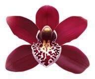 Fleur tropicale de Cymbidium d'orchidée - vecteur Image stock