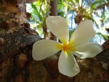Fleur tropicale de frangipani photographie stock libre de droits
