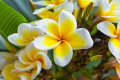 Fleur tropicale de frangipani blanc, fleur de plumeria fleurissant sur l'arbre Images libres de droits