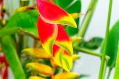 Fleur tropicale de Heliconia images libres de droits