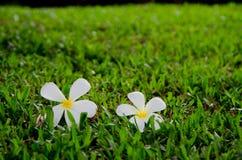Fleur tropicale de Leelavadee Photos stock