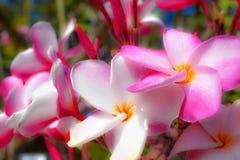 Fleur tropicale de plumeria de fleur de frangipani de rose de fleur de Plumeria et blanc fleurissant sur la fleur de station ther image stock