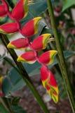 Fleur tropicale - Heliconia Photographie stock libre de droits