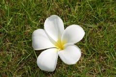Fleur tropicale Thaïlande, herbe verte Asie du ` s Photo libre de droits