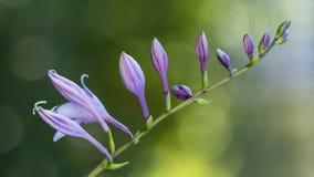 Fleur unblown pourpre sur un fond vert Crocus pourpre photos libres de droits