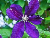 Fleur une d'iris photographie stock