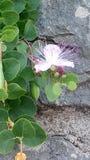 Fleur, usine de floraison escaladant le mur de roche photo libre de droits