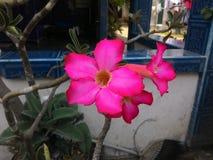 Fleur v2 de Frangipani Images libres de droits