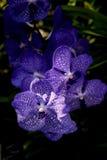 Fleur : Vanda Cultivar, orchidée Photo libre de droits