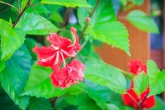 Fleur vermeille de double pétale rouge de ketmie hybride rosa-sinen Images libres de droits