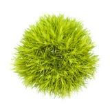 Fleur verte d'oeillet Photo stock