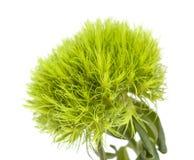 Fleur verte d'oeillet Images libres de droits