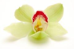 Fleur verte d'orchidée d'isolement Image libre de droits