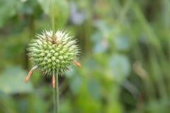 Fleur verte de transitoire avec l'espace sur le jardin vert brouillé image stock