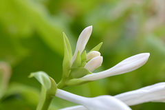 Fleur verte et blanche Photos stock