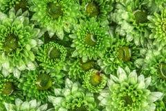 Fleur verte fraîche molle avec la baisse de l'eau de pluie pour l'amour d romantique Photo stock
