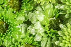 Fleur verte fraîche molle avec la baisse de l'eau de pluie pour l'amour romantique Photos libres de droits