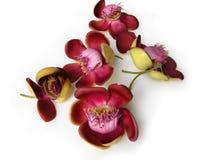 Fleur vingt-deux de boulet de canon Image libre de droits