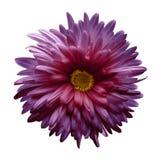 fleur Violet-rose d'aster d'isolement sur le fond blanc avec le chemin de coupure Plan rapproché aucune ombres Images stock