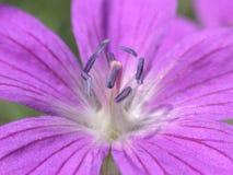 Fleur violette Photo stock