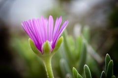 Fleur violette Photographie stock