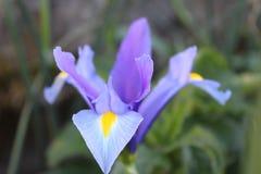 Fleur violette Images stock