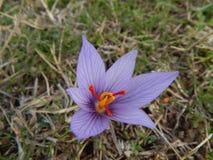 Fleur violette Photo libre de droits