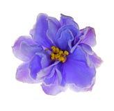 Fleur violette bleu-clair sur le blanc Photo libre de droits