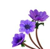 Fleur violette d'anémone Photo stock