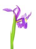 Fleur violette d'iris Photographie stock libre de droits