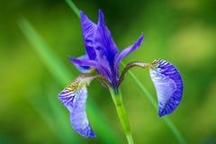 Fleur violette d'iris images libres de droits