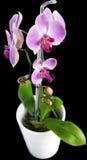 Fleur violette d'orchidée Images libres de droits