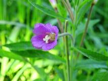 Fleur violette dans le domaine, Lithuanie Photo libre de droits