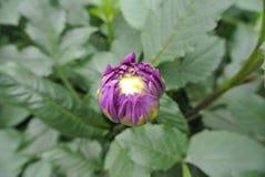 Fleur violette dans le jardin Photos libres de droits