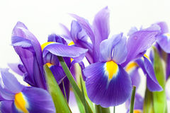 Fleur violette de blueflag d'iris jaune Photo libre de droits